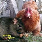 Basse-cour : les astuces pour éviter les rongeurs dans un poulailler