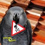 Santé : les bois exotiques toxiques pour nos perroquets ? (liste)