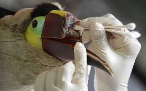 Santé : une imprimante 3D au secours d'un toucan mutilé