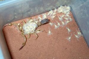 Reproduction : comment nourrir et prendre soin des jeunes scorpions (pullus)