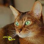 L'Abyssin, un lapin dans un corps de chat