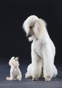 """Le Caniche, un mouton en """"quatre dimensions"""""""