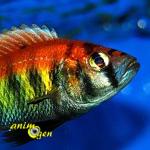 Pundamilia nyererei Ruti Island, le plus coloré des Cichlidés du lac Victoria
