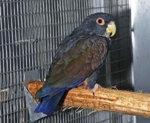 La Pione noire, Pione à ailes de bronze, Pionus chalcopterus