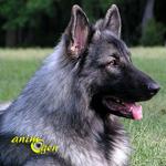 Le Shiloh Shepherd, le chien de tous les défis