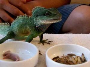L'alimentation des lézards insectivores
