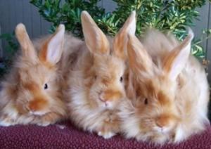 Le lapin angora, ou Ankara