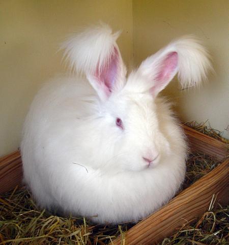 Le lapin angora ou ankara animogen for Caracteristique anglais