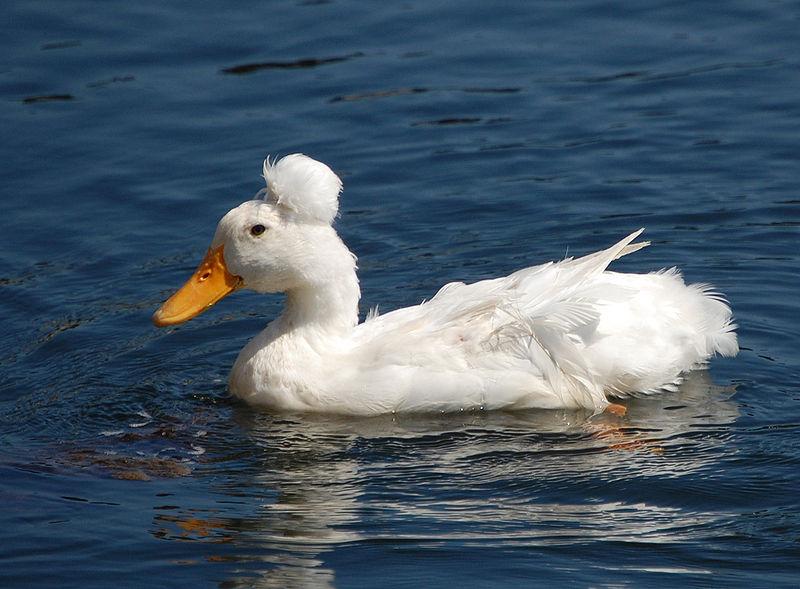"""Le canard à pompon blanc, un palmipède qui porte fièrement le """"chignon"""""""