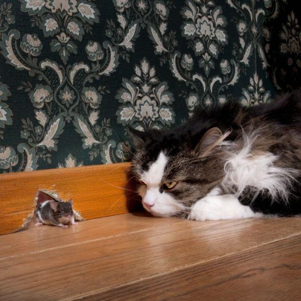L'intelligence chez les chats est-elle innée ou acquise ?