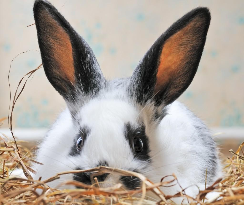 Comportement : les racines de l'agressivité chez les lapines