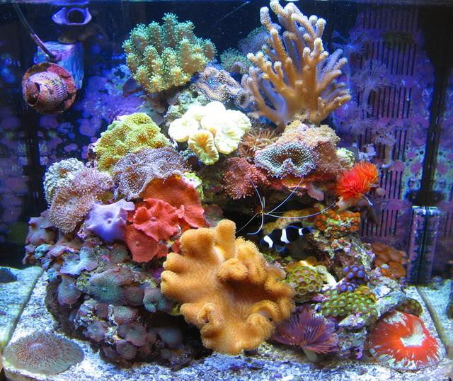 Débuter avec les coraux dans un bac récifal : le Zoanthus, ou Anémone coloniale