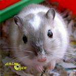 Comportement : le stress chez les gerbilles, mériones de Mongolie (causes, symptômes, solutions)