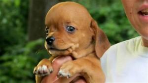 Santé : l'hydrocéphalie canine (causes, symptômes, traitement)