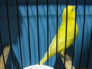 Les couleurs des canaris : les lipochromes