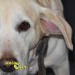 Santé : l'othématome du chien (causes, symptômes, traitement)