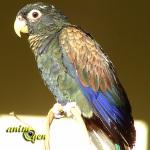 Pionus chalcopterus,pione noire ou pione à ailes de bronze, un perroquet qui cache bien son jeu