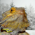 L'hivernation, hivernage ou brumation des Pogonas vitticeps