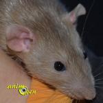 Le rat Dumbo, un rongeur au coeur tendre