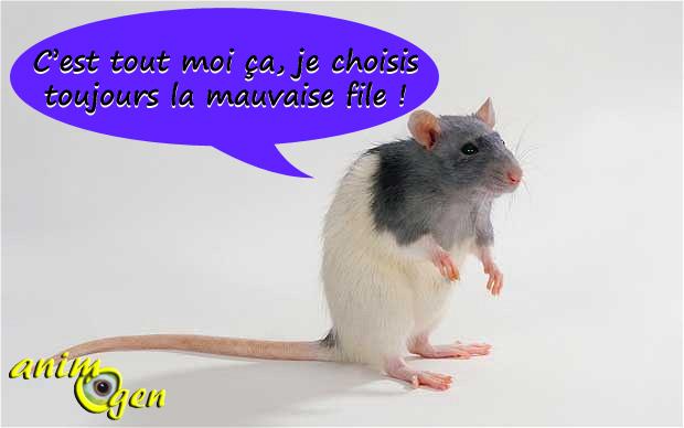 Comportement : les rats sont capables d'éprouver des regrets suite à un mauvais choix