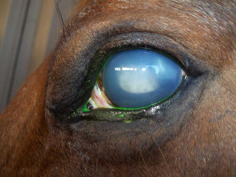 Maladies de l'œil chez les chevaux : l'uvéite récurrente, ou récidivante (causes, symptômes, traitement)