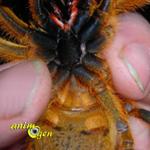 Sexage de mygale : comment différencier un mâle d'une femelle ?