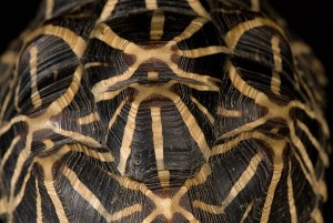 La tortue étoilée d'Inde, ou Geochelone elegans (alimentation, maintenance, reproduction)