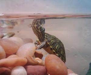 La quarantaine : un impératif lors de l'arrivée d'une nouvelle tortue