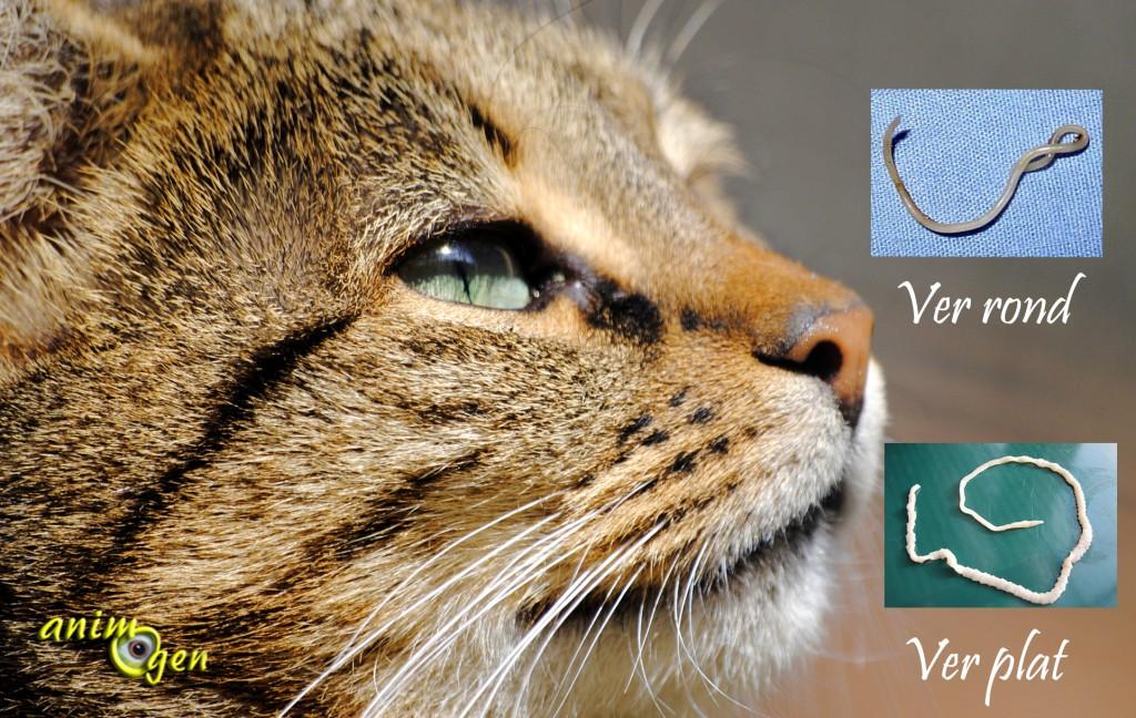 Parasites internes chez le chat : les différents types de vers