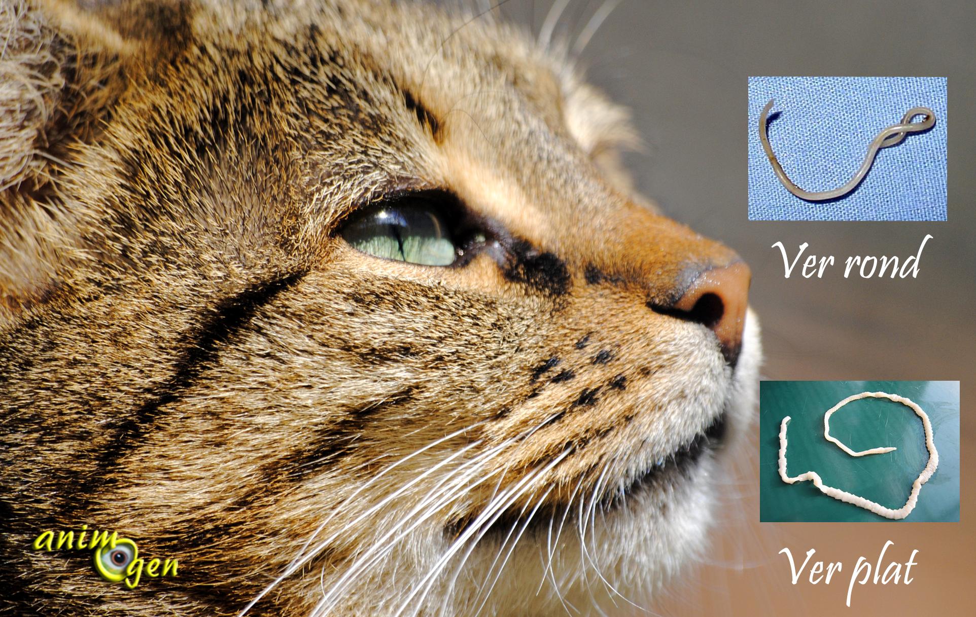 Parasites internes chez le chat  les différents types de vers