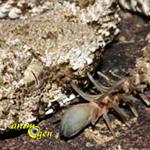 Serpent et araignée à la fois, découvrez la vipère araignée (Pseudocerastes uarachnoides)