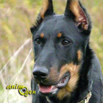 Le Berger de Beauce, dit Beauceron, ou Bas Rouge