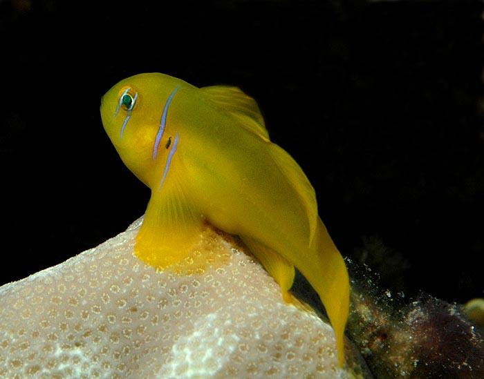 Le Gobie corail citron, ou Gobie corail jaune (Gobiodon citrinus)