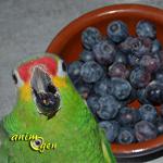 Alimentation : les bienfaits des myrtilles pour nos perroquets