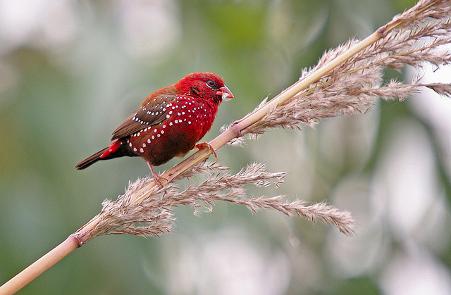 Le Bengali rouge, ou Amandava amandava