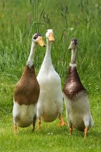 Quatre races de canard pour débuter