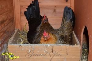 La couvaison chez la poule : durée, nombre d'œufs, symptômes