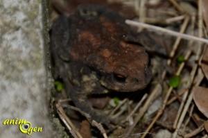 Le crapaud épineux (Bufo spinosus), un prince coassant