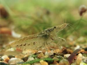 La Neocaridina Heteropoda, la petite crevette qui a tout d'une grande