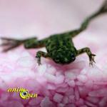 Les grenouilles d'aquarium (espèces, maintenance, alimentation)