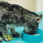 Santé : l'hyperthyroïdie chez les chats domestiques, facteurs de risque et immunité