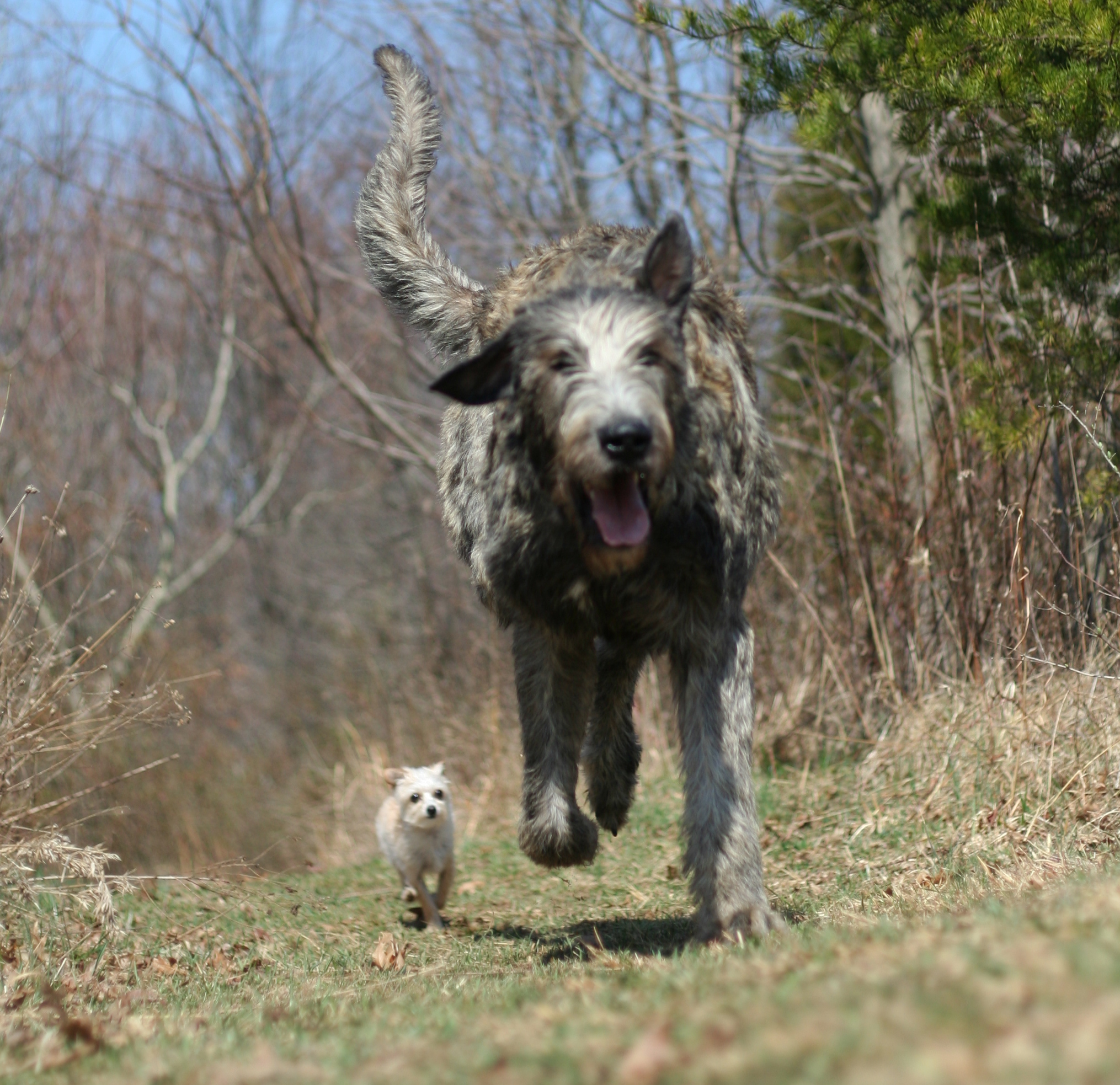 club de race irish wolfhound