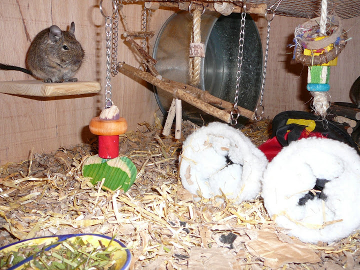 L'entretien de la cage des octodons, ou degues du Chili (nettoyage et choix de litière)
