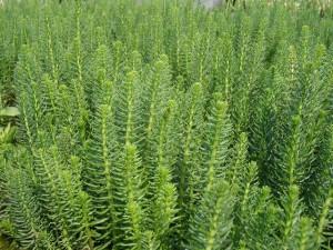 Les plantes de bassin de faible et moyenne profondeur