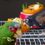 Le poivron farci, un jouet alléchant pour nos perroquets