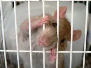 Comportement : pourquoi les rats rongent-ils les barreaux de leur cage ?