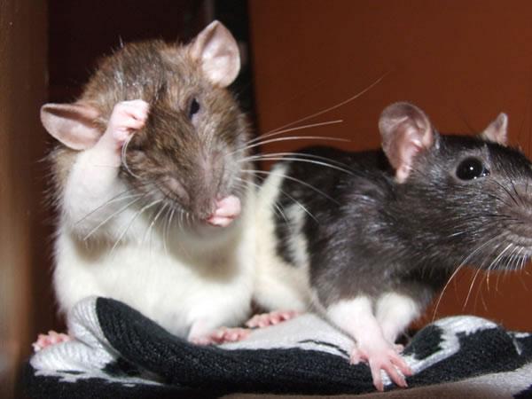Comportement : pourquoi les rats se toilettent-ils entre eux ou lèchent-ils nos mains ?