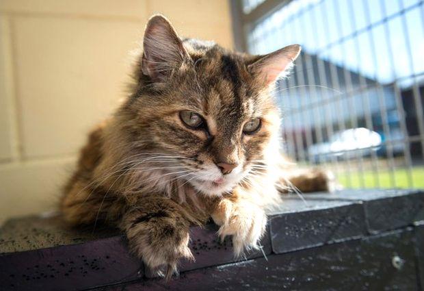 Bluey, le chat qui ronronne le plus fort au monde, ou presque !