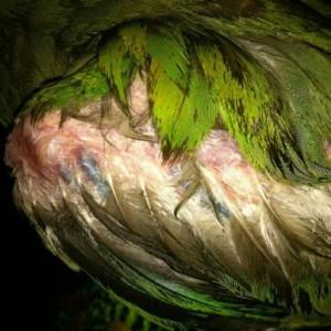 Santé de nos perroquets : la PBFD, ou maladie du bec et des plumes (causes, symptômes, traitement)