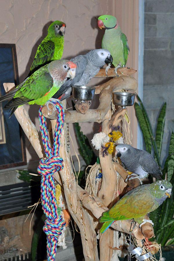 Santé : la maladie de Pacheco chez le perroquet (causes, symptômes, prévention, traitement)